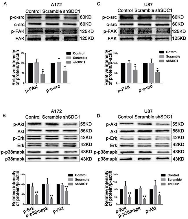 SDC1 knockdown suppresses phosphorylation of c-src/FAK and associated signaling pathway molecules in A172 and U87 cells.