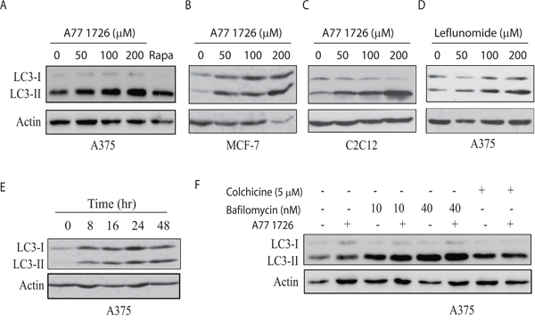 A77 1726 increases LC3-II expression.