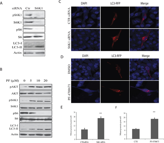 Role of S6K1 in autophagy.