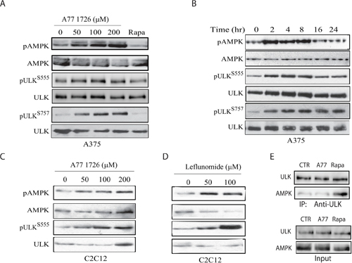 A77 1726 induces AMPK and ULK1 phosphorylation.
