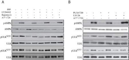 A77 1726-induced AMPK and ULK1 phosphorylation is independent of the feedback activation of the PI-3 and MAP kinase pathways.