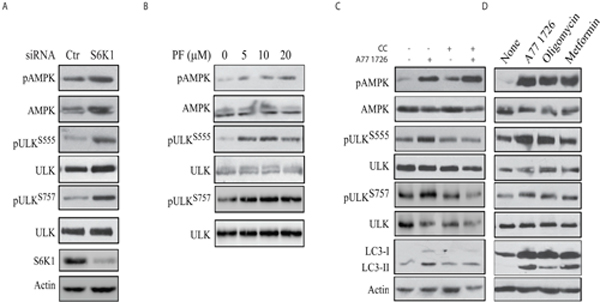 The role of AMPK in A77 1726-induced autophagy.