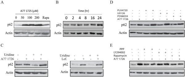 A77 1726 induces p62 expression.