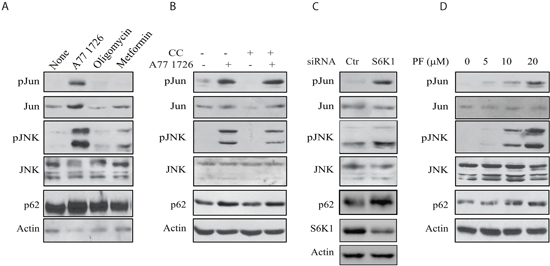 JNK activation is required for A77 1726-induced p62 expression.