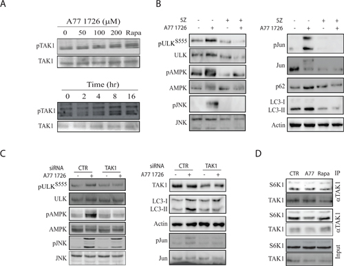 TAK1 mediates A77 1726-induced AMPK and JNK activation.