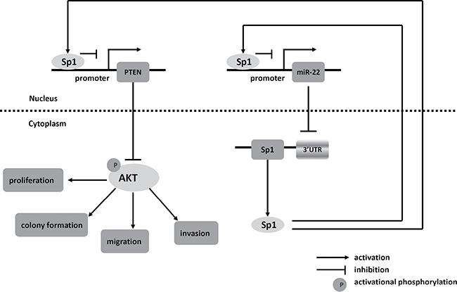 Schematic of pathways involved in the tumor-suppressor role of miR-22 in CRC cells.