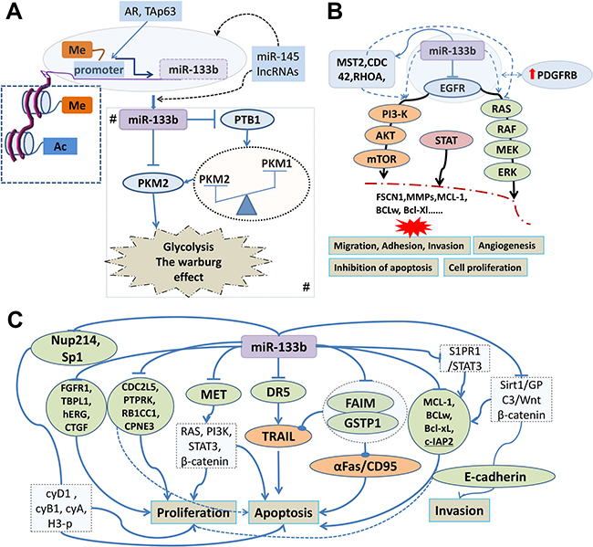 Tumor suppressive signatures of miR-133b involved in human cancer and its regulatory mechanism.