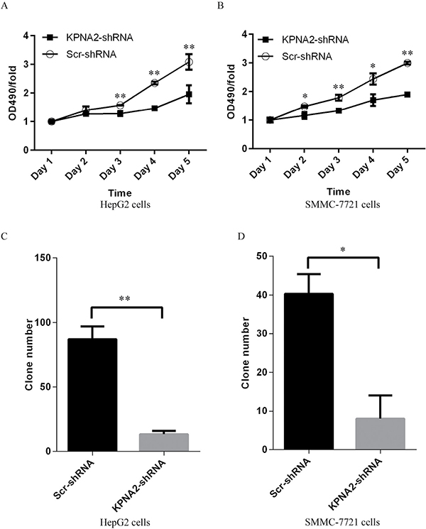 Cell proliferation blockade detected by MTT assay and impaired colony formation in human hepatocellular carcinoma cell lines HepG2 and SMMC-7721 with KPNA2 knockdown.