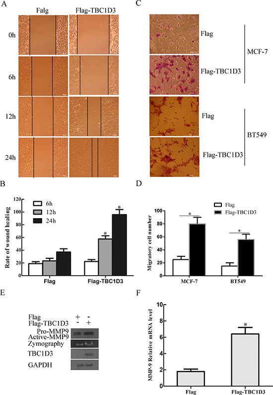 TBC1D3 overexpression promotes the expression and activation of MMP-9 and the migration of MCF-7 cells.