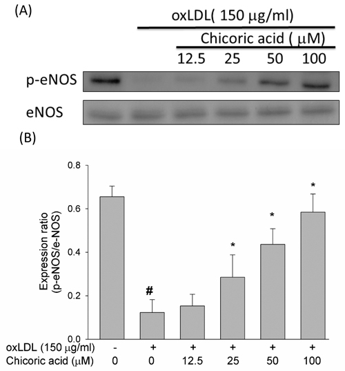 Effects of chicoric acid on oxLDL-repressed eNOS protein phosphorylation.
