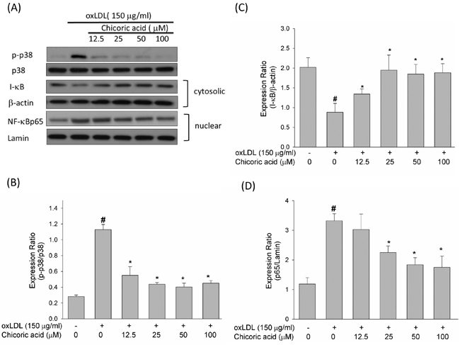 Effects of chicoric acid on phosphorylation of p38 MAPK and on the translocation of NF-kB.