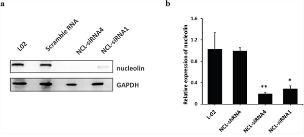 Stable knockdown of nucleolin in L-02 cells.
