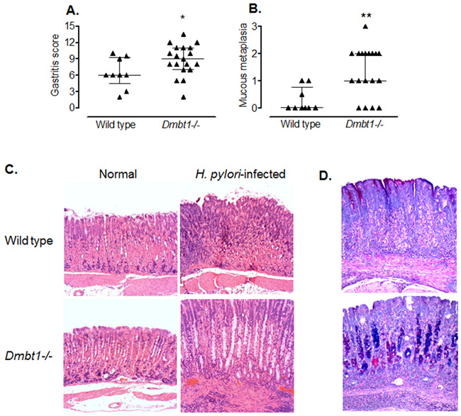 H. pylori infection induces premalignant lesions and more severe inflammation in Dmbt1-/- mice.