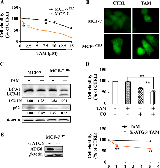Protective autophagy is concomitantly activated in MCF-7TR5 cells.