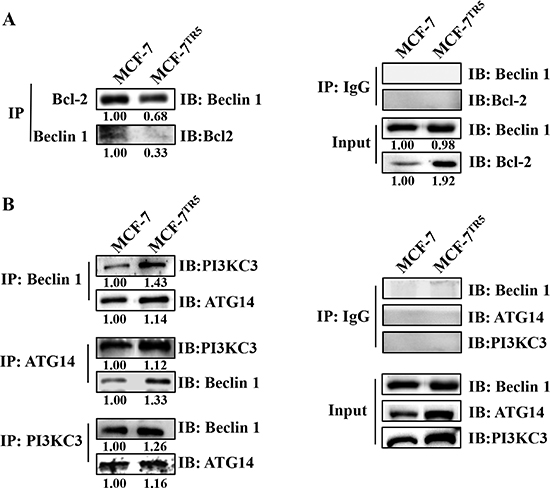 Dissociation of Bcl-2 from Beclin 1 confers protective autophagy in MCF-7TR5 cells.