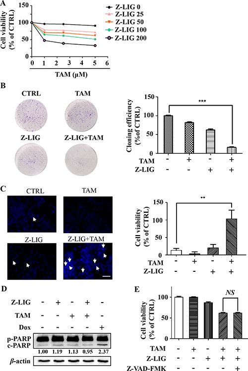 Z-LIG sensitizes TAM-resistant breast cancer cells in a caspase- independent manner.
