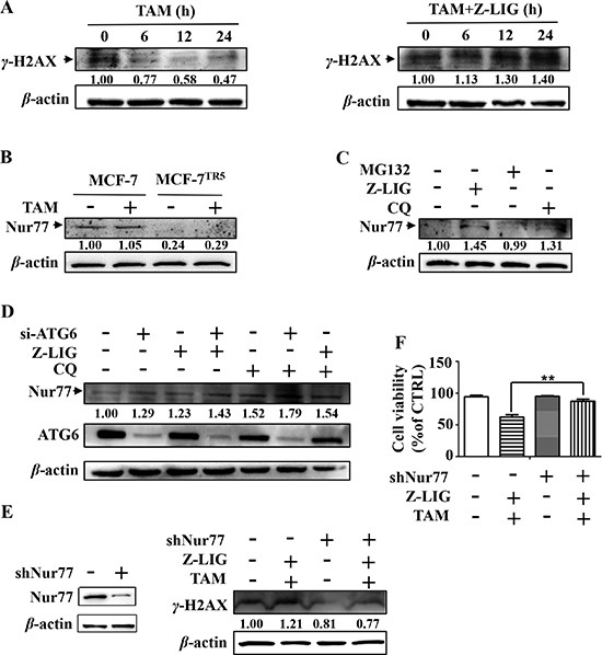 Restoration of autophagy-degraded Nur77 by Z-LIG is essential for DNA damage and cell death caused by combinatorial Z-LIG and TAM.