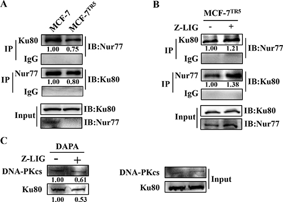 Z-LIG restores the interaction of Nur77 with Ku80 to repress the DNA binding of Ku80.