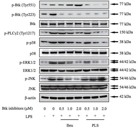 Btk inhibition blocks activation of Btk and downstream signaling cascades.