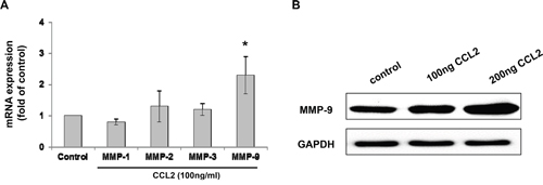 CCL2 increased the expression of MMP-9 in A549 cell.