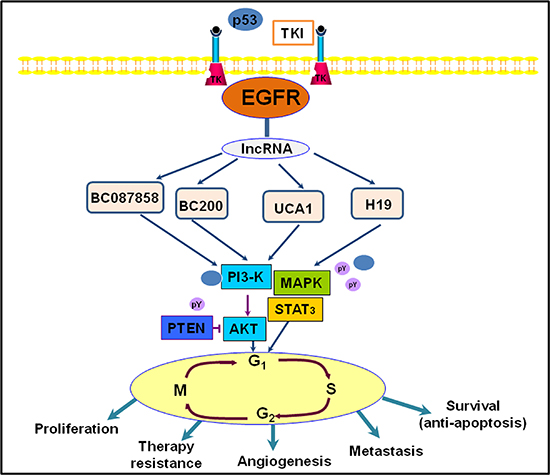 An illustration representing long noncoding RNAs (lncRNAs) and they involved in EGFR signaling pathway in lung cancer.