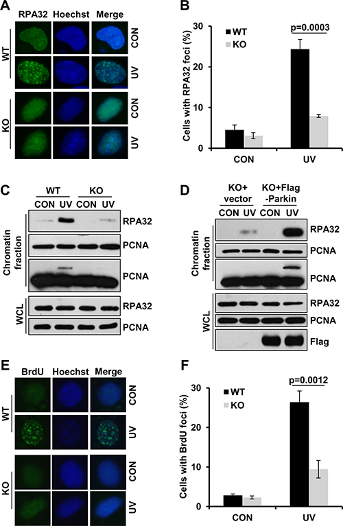 Parkin facilitates ssDNA generation and efficient RPA recruitment in response to UV radiation.