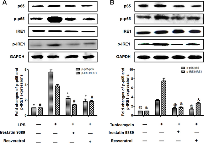 Resveratrol reduced the activation of NF-κB(p65) through inhibiting ER stress-activated IRE1 in LPS-induced HK-2 cells.