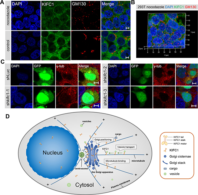 The interactions between kinesin-14 KIFC1 and microtubule networks in the Golgi positioning.