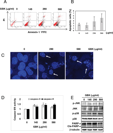 GBK induces apoptosis in MCF-7 breast cancer cells.
