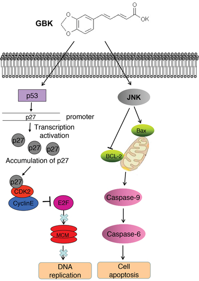 The model for the role of GBK in inhibiting breast tumorigenesis.