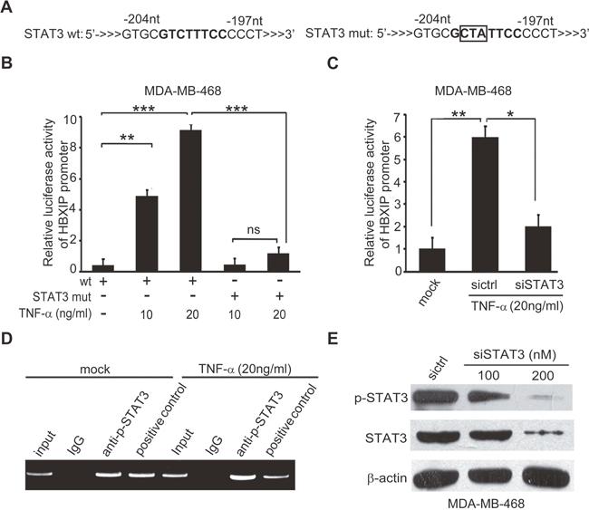 TNF-α activates HBXIP promoter through activating transcription factor STAT3.