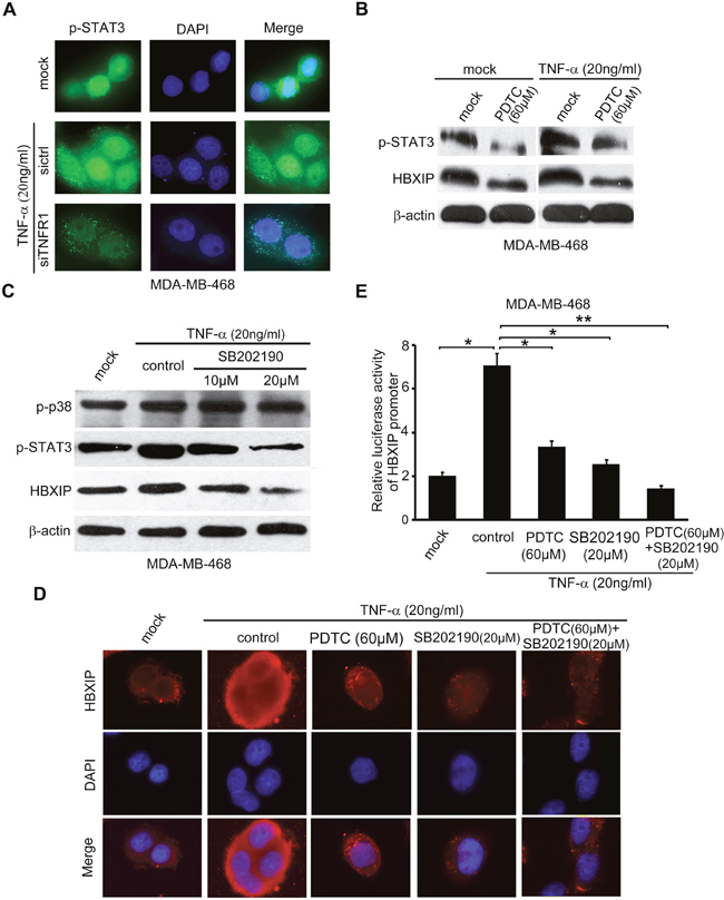 TNF-α enhances STAT3 phosphorylation via NF-κB and/or p38 signaling in activation of HBXIP promoter.