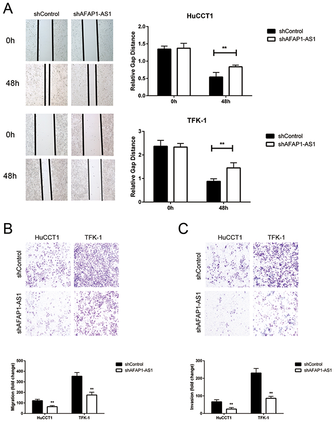 The effects of AFAP1-AS1 knockdown on migration and invasion of CCA cell lines.