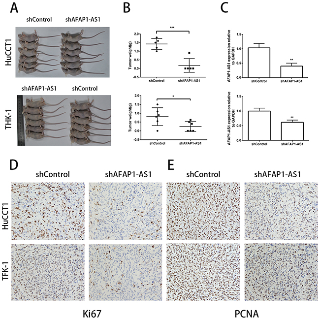 Inhibition of AFAP1-AS1 impairs tumorigencity of CCA cell lines in vivo.