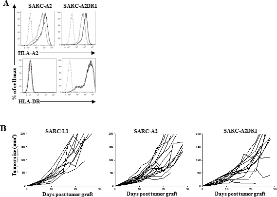 Transduction of SARC-L1 with syngeneic MHC-Class I and II molecules as potential tools to improve tumor-specific immunity model.
