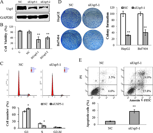 Usp5 knockdown suppressed cell growth and induced apoptosis in HepG2 cells.