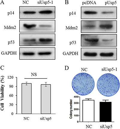 Inactivated p14ARF-p53 signaling was involved in Usp5 promoted tumorigenesis.