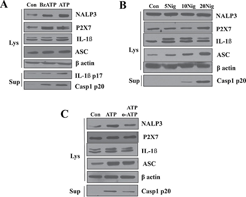 Role of P2X7R in the activation of NLRP3 inflammasome.