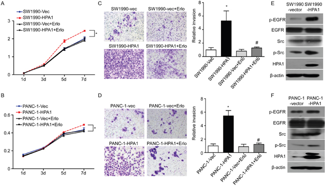 HPA1 promotes the proliferation and invasion of PC cells in vitro.