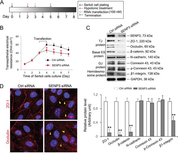 SENP3 depletion compromises Sertoli cell BTB function.