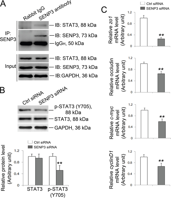 SENP3 silencing wakens the transcriptional activity of STAT3.