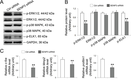 SENP3 involves in MAPK signaling pathway in Sertoli cells.