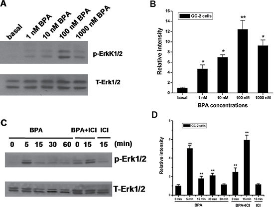 Effects of BPA on Erk1/2 activation in GC-2 cells.