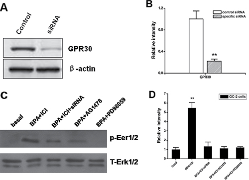 The expression of activated Erk1/2 in GC-2 cells performed by different ways.