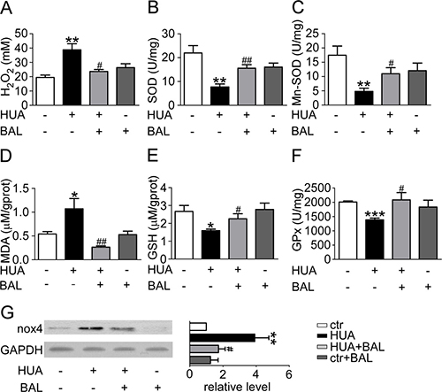 Baicalein prevented renal oxidative stress in hyperuricemia mice.