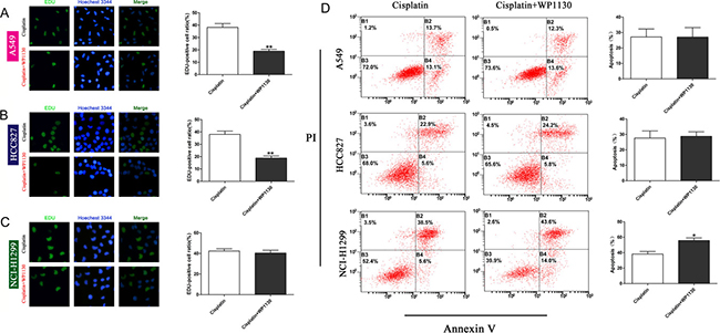 Images and quantification of EdU staining following 48-h treatment with cisplatin and cisplatin plus WP1130.