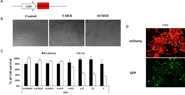 Eradication of R1 cells by recombinant adenovirus-mediated delivery of the MazF-MazE encoding cassette.