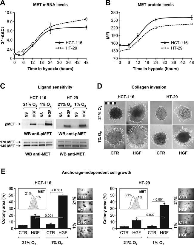 HGF sustains colorectal cancer cell invasion in hypoxic conditions.