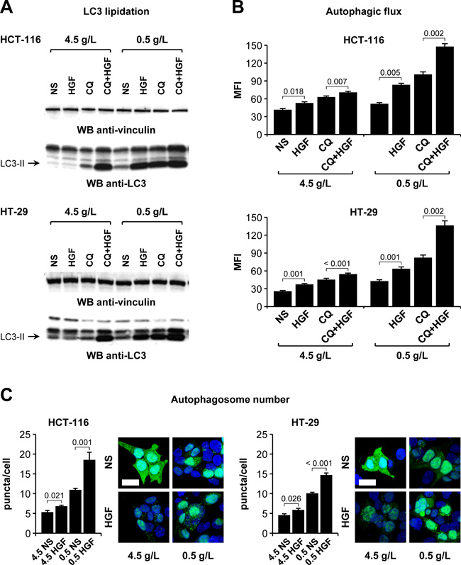 HGF potentiates colorectal cancer cell autophagic flux under glucose starvation.