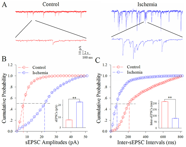 Ischemia upregulates excitatory synaptic transmission at cortical GABAergic neurons.